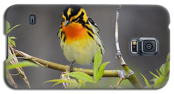 Male Blackburnian Warbler Galaxy S5 Case by Gary Hall