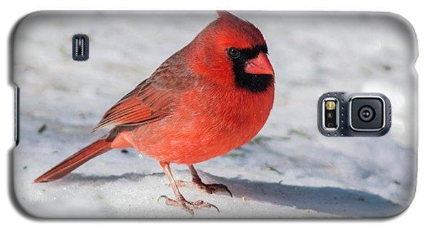 Male Cardinal In Winter Galaxy S5 Case