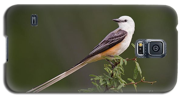 Male Scissor-tail Flycatcher Tyrannus Forficatus Wild Texas Galaxy S5 Case