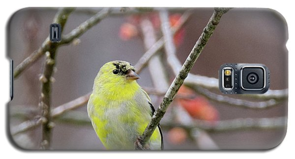 Galaxy S5 Case featuring the photograph Molting Gold Finch Square by Bill Wakeley