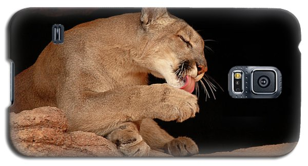 Mountain Lion In Cave Licking Paw Galaxy S5 Case by Max Allen