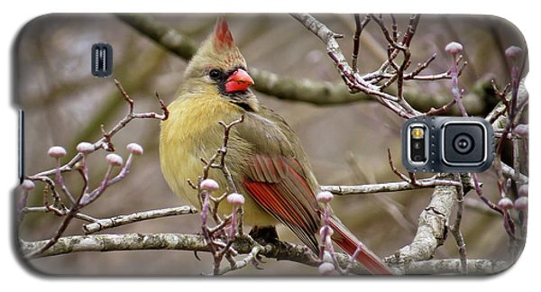 Galaxy S5 Case featuring the photograph Mrs Cardinal II by Douglas Stucky