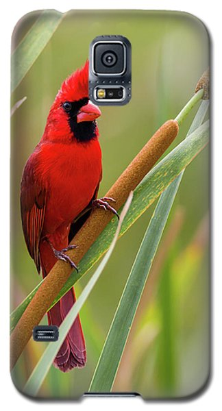 Northern Cardinal On Cattail Galaxy S5 Case