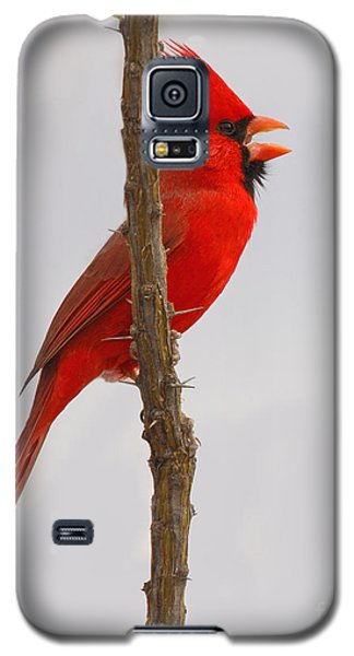 Northern Cardinal Proclaiming Spring Territory Galaxy S5 Case by Max Allen