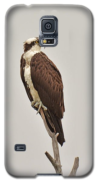 Osprey Galaxy S5 Case by Alan Lenk