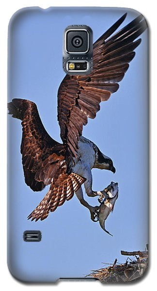Osprey With Fresh Catch Galaxy S5 Case