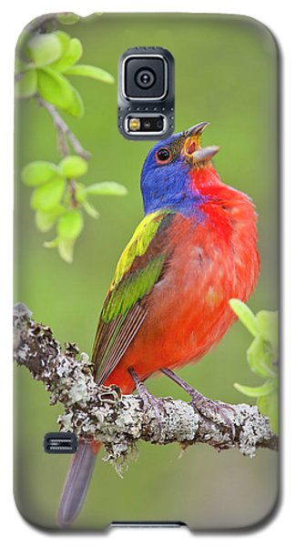 Painted Bunting Singing 2 Galaxy S5 Case