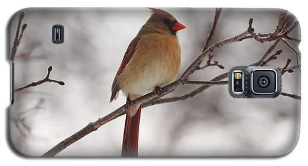 Perched Female Red Cardinal Galaxy S5 Case by Debbie Oppermann