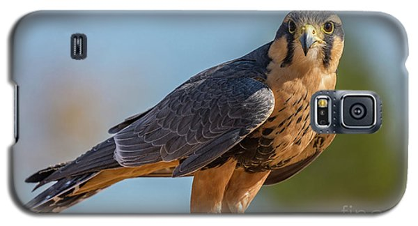 Peregrine Falcon Wildlife Art By Kaylyn Franks Galaxy S5 Case