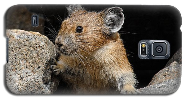 Pika Looking Out From Its Burrow Galaxy S5 Case by Jeff Goulden