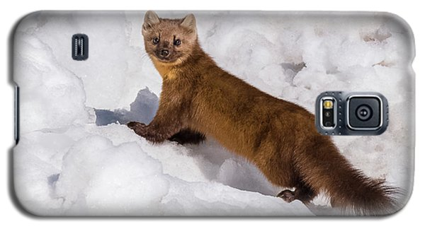 Pine Marten In Snow Galaxy S5 Case by Yeates Photography