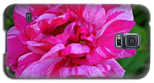 Pink Candy Stripe Rose Galaxy S5 Case