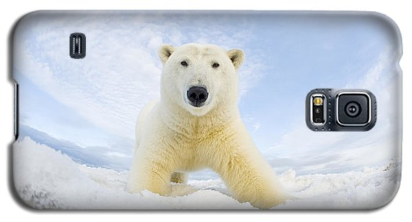 Polar Bear  Ursus Maritimus , Curious Galaxy S5 Case by Steven Kazlowski