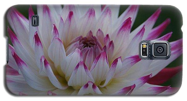 Purple Tipped Starburst Dahlia Galaxy S5 Case by Patricia Strand
