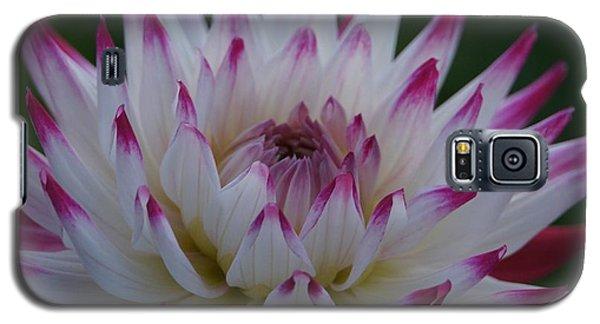 Purple Tipped Starburst Dahlia Galaxy S5 Case