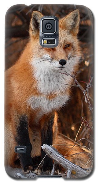 Red Fox Pausing Atop Log Galaxy S5 Case by Max Allen