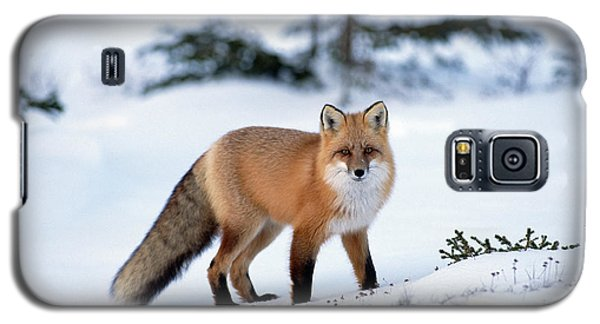 Red Fox Vulpes Vulpes Portrait Galaxy S5 Case
