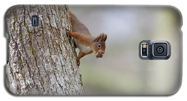Red Squirrel Climbing Down A Tree Galaxy S5 Case