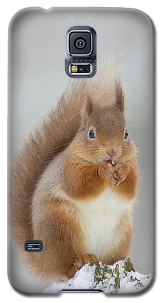 Red Squirrel Nibbling A Hazelnut In The Snow Galaxy S5 Case