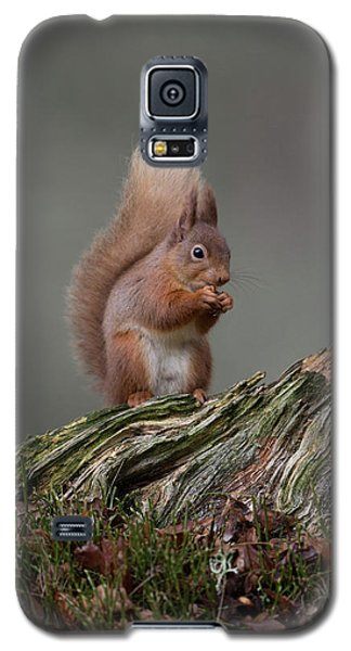 Red Squirrel Nibbling A Nut Galaxy S5 Case