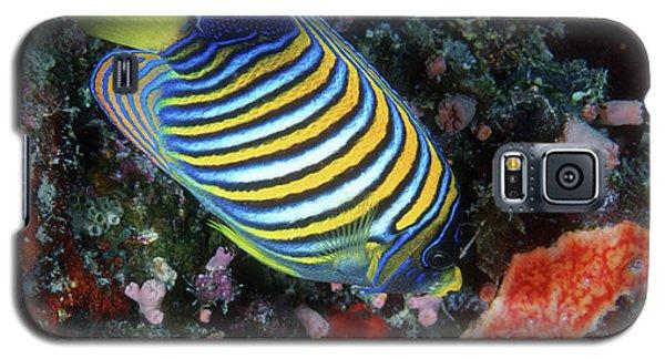 Regal Angelfish, Great Barrier Reef Galaxy S5 Case