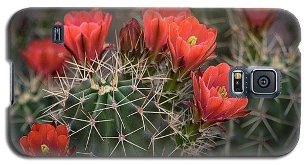 Galaxy S5 Case featuring the photograph Scarlet Hedgehog Cactus  by Saija Lehtonen