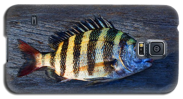 Galaxy S5 Case featuring the photograph Sheepshead Fish by Laura Fasulo