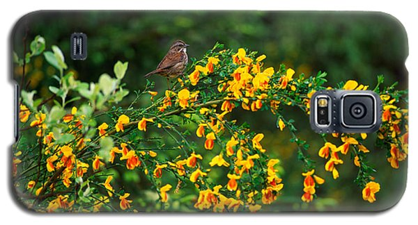 Song Sparrow Bird On Blooming Scotch Galaxy S5 Case by Panoramic Images