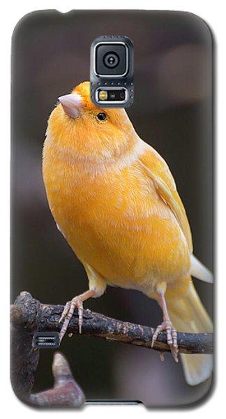 Spanish Timbrado Canary Galaxy S5 Case