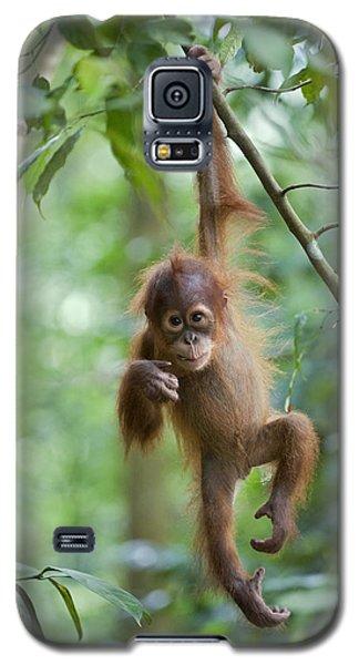 Sumatran Orangutan Pongo Abelii One Galaxy S5 Case by Suzi Eszterhas