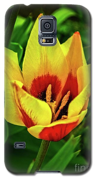 Galaxy S5 Case featuring the photograph The Bicolor Tulip by Robert Bales