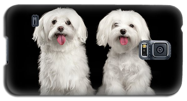 Two Happy White Maltese Dogs Sitting, Looking In Camera Isolated Galaxy S5 Case by Sergey Taran