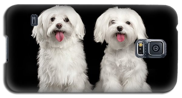 Two Happy White Maltese Dogs Sitting, Looking In Camera Isolated Galaxy S5 Case