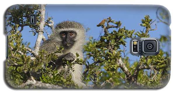 Vervet Monkey Perched In A Treetop Galaxy S5 Case