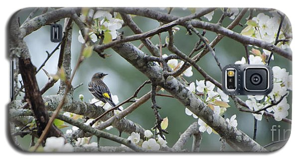 Yellow-rumped Warbler In Pear Tree Galaxy S5 Case by Donna Brown