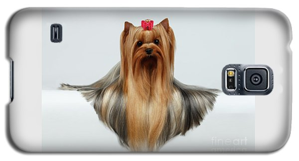 Yorkshire Terrier Dog With Long Groomed Hair Lying On White  Galaxy S5 Case by Sergey Taran