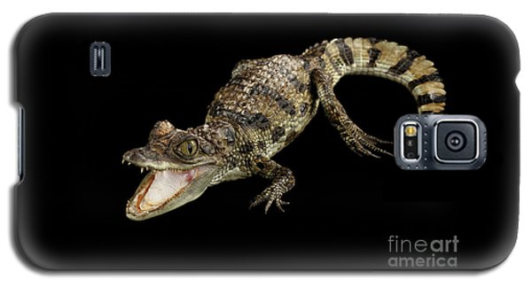Young Cayman Crocodile, Reptile With Opened Mouth And Waved Tail Isolated On Black Background In Top Galaxy S5 Case