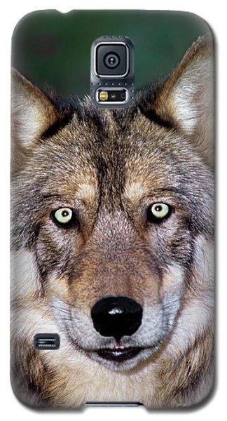 Gray Wolf Portrait Endangered Species Wildlife Rescue Galaxy S5 Case