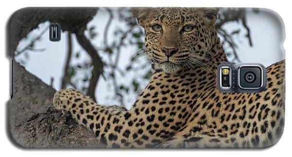 A Leopard Gazes From A Tree Galaxy S5 Case