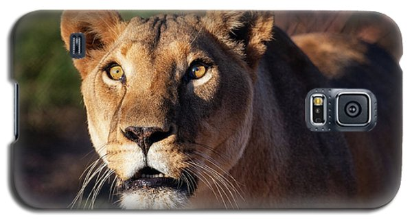 Lioness Looking Up Galaxy S5 Case