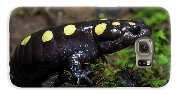 Salamanders Galaxy S6 Case - Spotted Salamander (ambystoma Maculatum by Pete Oxford