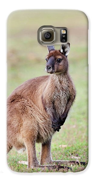 Western Grey Kangaroo (macropus Galaxy S6 Case