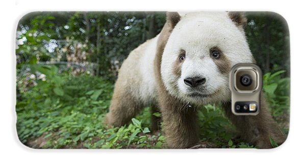 Giant Panda Brown Morph China Galaxy S6 Case