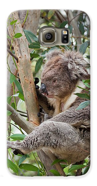 Koala (phascolarctos Cinereus Galaxy S6 Case