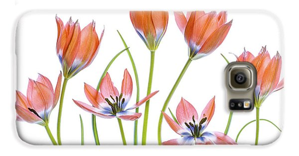 Tulip Galaxy S6 Case - Apricot Tulips by Mandy Disher
