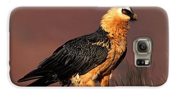 Bearded Vulture Or Lammergeier Galaxy S6 Case by Nigel Dennis