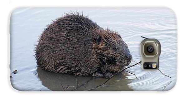 Beaver Chewing On Twig Galaxy S6 Case by Chris Flees