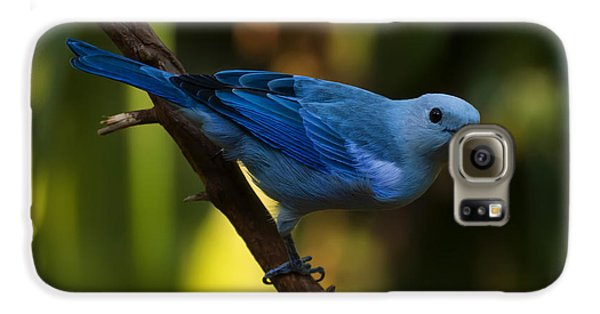 Blue Grey Tanager Galaxy S6 Case