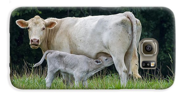 Charolais Cattle Nursing Young Galaxy S6 Case