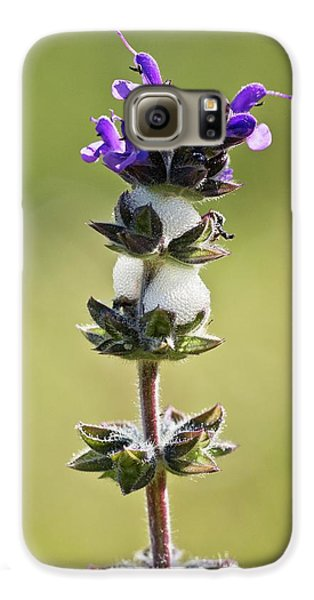 Cuckoo Galaxy S6 Case - Cuckoo-spit On Clary (salvia Verbenaca) by Bob Gibbons